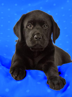 Shadow (Puppy)